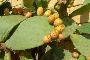 Dieser besondere Kaktus resorbiert Ihr Fett