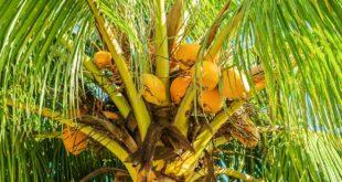 Kokosblütenzucker - Nährwerte machen ihn zur echten Zucker Alternative