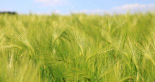 Warum Gräser gesund sind und welcher Nutzen von ihnen ausgeht