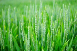 Weizengrassaft, die Proteinbombe!